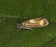 49.379 Pammene aurana, Co Louth