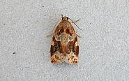 49.015 Archips xylosteana, Variegated Golden Tortrix