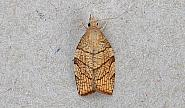 49.024 Pandemis corylana, Chequered Fruit-tree Tortrix