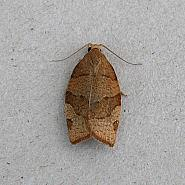 49.025 Pandemis cerasana Barred Fruit-tree Tortrix