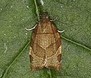 Barred Fruit-tree Tortrix, Pandemis cerasana, Co Louth