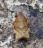 Barred Fruit-tree Tortrix, Pandemis cerasana, Co Leitrim