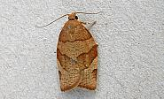 49.025 Pandemis cerasana, Barred Fruit-tree Tortrix, Co Wicklow