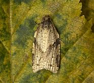 Cyclamen Tortrix, Clepsis spectrana, Co Louth