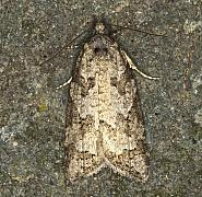 49.05 Grey Tortrix, Cnephasia stephensiana