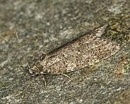 49.05 Grey Tortrix, Cnephasia stephensiana, Co Louth