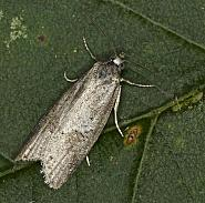 49.056 Cnephasia conspersana, Co Louth