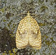 49.062 Acleris forsskaleana, Co Louth