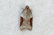 49.066 Acleris laterana, Co Wexford