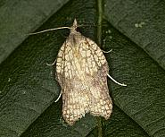 49.071 Acleris emargana, Co Louth