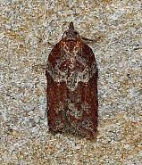Acleris hastiana, Co Leitrim