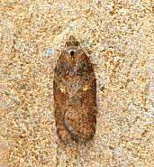 49.08 Acleris hastiana, Co Mayo