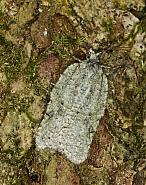 49.087 Acleris literana, Co Louth