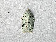 49.087 Acleris literana, Co Wicklow