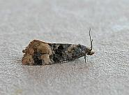 49.133 Cochylis nana, Co Wexford