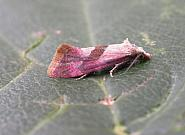 49.135 Cochylis flaviciliana, Co. Clare