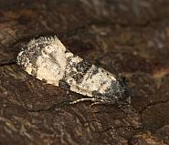 49.139 Cochylis atricapitana, Co Louth