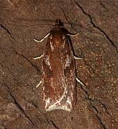 Acleris hyemana, Co Louth