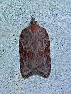 Acleris sparsana, Co Leitrim
