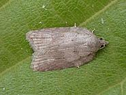 49.069, Acleris Sparsana, Co. Meath