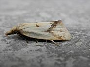 49.109 Agapeta hamana, Co. Meath
