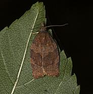 49.026 Dark Fruit-tree Tortrix, Pandemis heparana