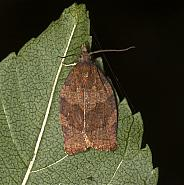 Dark Fruit-tree Tortrix, Pandemis heparana, Co Louth