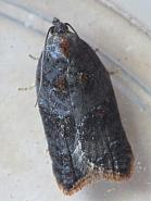 49.077 Acleris variegana, Garden Rose Tortrix, Co. Westmeath