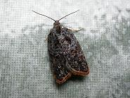 49.077 Acleris variegana Co. Meath