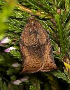49.013 Large Fruit-tree Tortrix, Archips podana, female, Co Louth