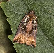 49.013 Large Fruit-tree Tortrix, Archips podana, male, Co Louth
