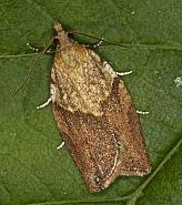49.039 Light Brown Apple Moth, Epiphyas postvittana