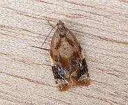 49.004 Ditula angustiorana, Red-barred Tortrix, Co Wicklow