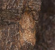 Rhomboid Tortrix, Acleris rhombana, Co Louth