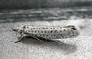 16.001 Bird-cherry Ermine, Yponomeuta evonymella, Co Donegal