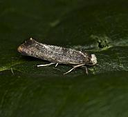 16.017 Swammerdamia pyrella, Co Louth