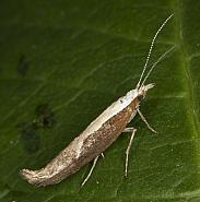 17.003 Honeysuckle Moth, Ypsolopha dentella, Co Louth