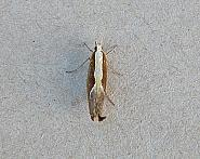 17.003 Honeysuckle Moth Ypsolopha dentella, Co Wexford
