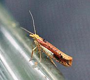 17.01 Ypsolopha parenthesella, Co Leitrim