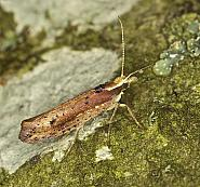 17.01 Ypsolopha parenthesella, Co Louth