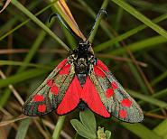 Six-spot Burnet Moth, Co Louth