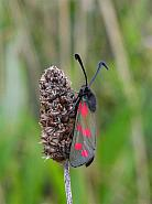 54.008 Six-spot Burnet Zygaena filipendulae, Co Wexford