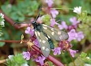 54.008 Six-spot Burnet, Zygaena filipendulae f. flava, Co Sligo