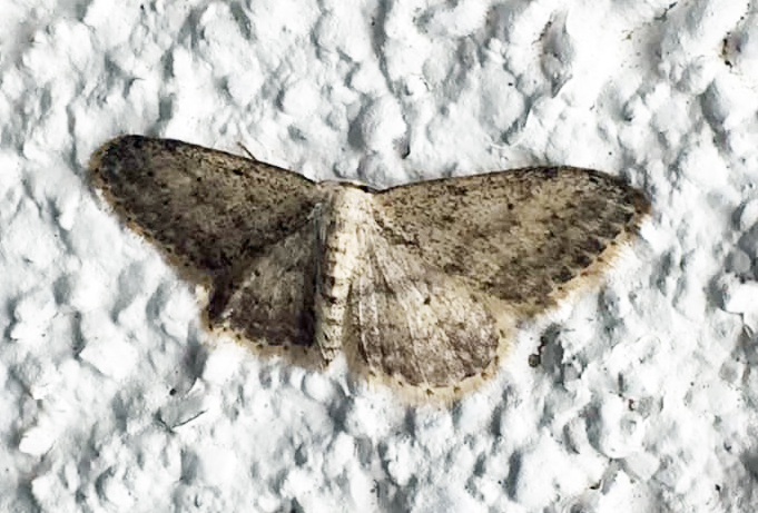 70.008 Small Dusty Wave Idaea seriata