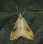 1356 Garden Pebble, Evergestis forficalis, Dundalk 10 Jul 2013 b