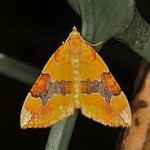 1765 Barred Yellow, Cidaria fulvata, Dundalk 6889