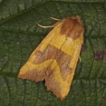 2269 Centre-barred Sallow Atethmia centrago,  Sl Gullion, 7 Sept 2012 a